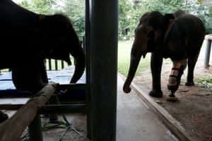 Elephants Mosha, left, and Motola, who both lost legs when they stepped on landmines, pictured at the Asian Elephant Foundation hospital for their new fittings