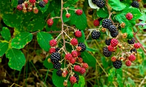 Blackberries on a bramble, a medicinal plant.