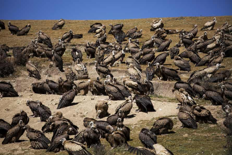 Vultures in Sichuan province, China.