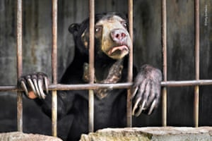 One of several sun bears kept behind the scenes at a zoo in Sumatra, Indonesia