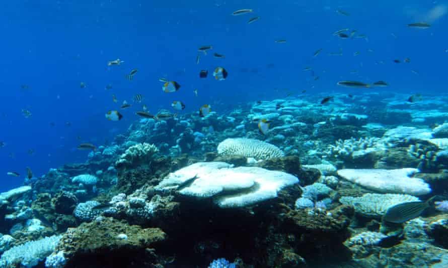Bleaching at Holmes Reef.