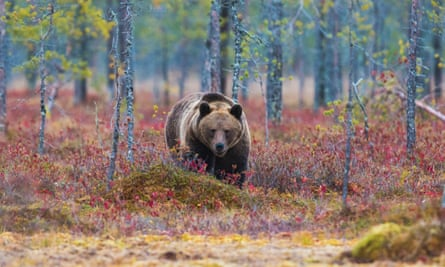 Brown bear walking in red autumn colored bushes, Kuhmo, Finland