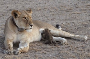 A leopard cub suckles on a lioness in the Ngorongoro Conservation Area in Tanzania