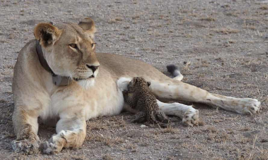 Lioness, Nosikitok, nurses a leopard cub in the Ngorongoro conservation area in Tanzania