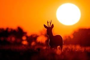 Roe deer (Capreolus capreolus) in the golden hour.