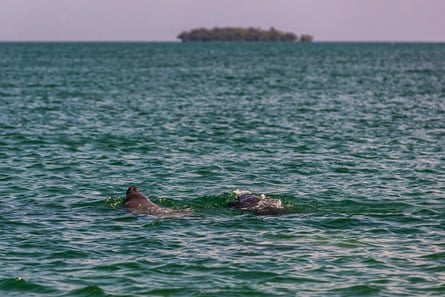 Manatees surface for air in the marine reserve, Belize.