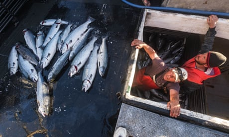 Thousands of Atlantic salmon escape from fish farm into Pacific