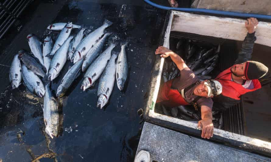 Allen Cooke,Nathan Cultee emerge from the hold of the Marathon after having separated out the 16 farm-raised Atlantic salmon they caught fishing off Point Williams, Washington.