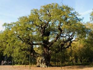 The Major Oak in Sherwood Forest.