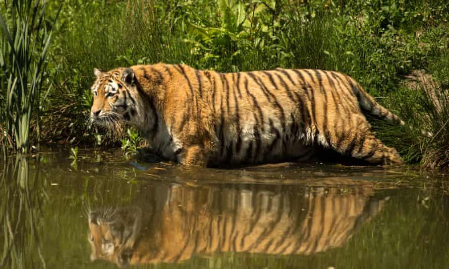 A female Amur tiger at Knowsley Safari