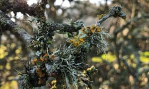 Goldeneye lichen