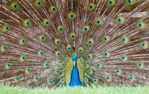 A male peacock presents his plumage at the zoo in Heidelberg, Germany