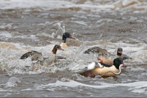 Common goosanders catching lampreys on the river Nith in Dumfries Scotland