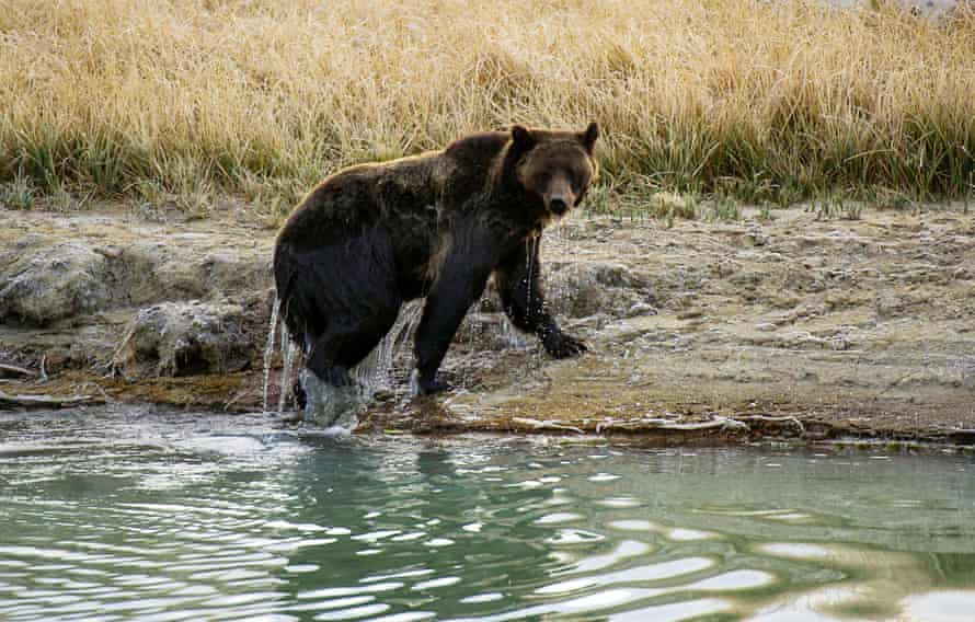 A grizzly bear exits Pelican creek at Yellowstone national park in Wyoming.