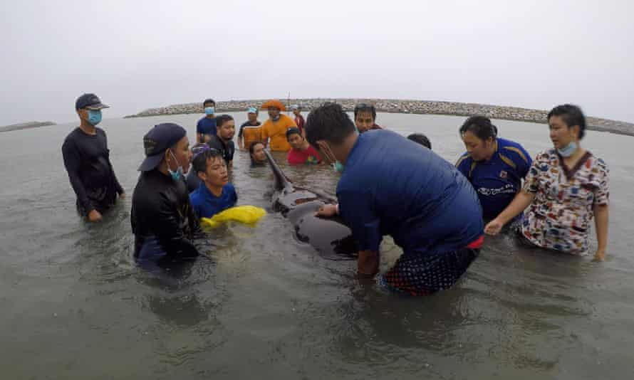 Rescuers try to save the whale in Thailand.