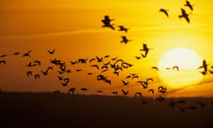 A flock of geese takes off in front of the morning sun
