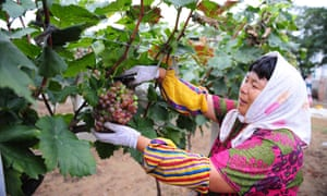a worker tends to the grapes growing in the vineyard of the Changyu Pioneer Wine Company in China.