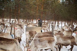Antti Pätsi feeding reindeers in the morning.