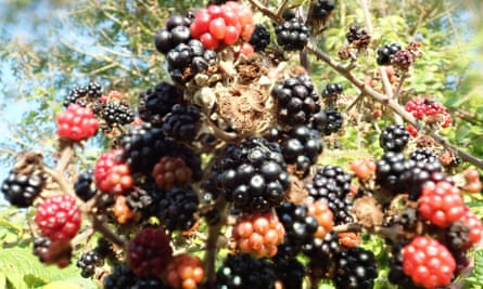 Fruit in bramble