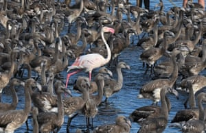 A pink flamingo stands among flamingo chicks in a pen in Aigues-Mortes, near Montpellier, France, during an annual tagging and controlling operation.