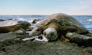 A turtle suffocates on an ingested plastic bag in Hawaii
