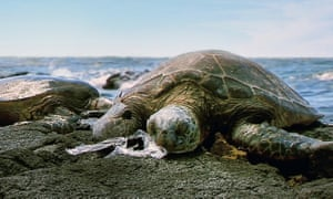 A turtle suffocates on an ingested plastic bag