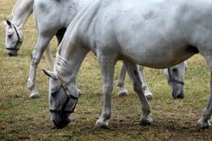 Kladruber horses in their enclosure