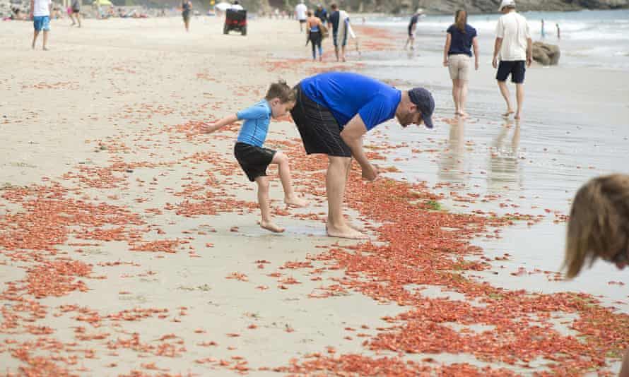 california tuna crabs
