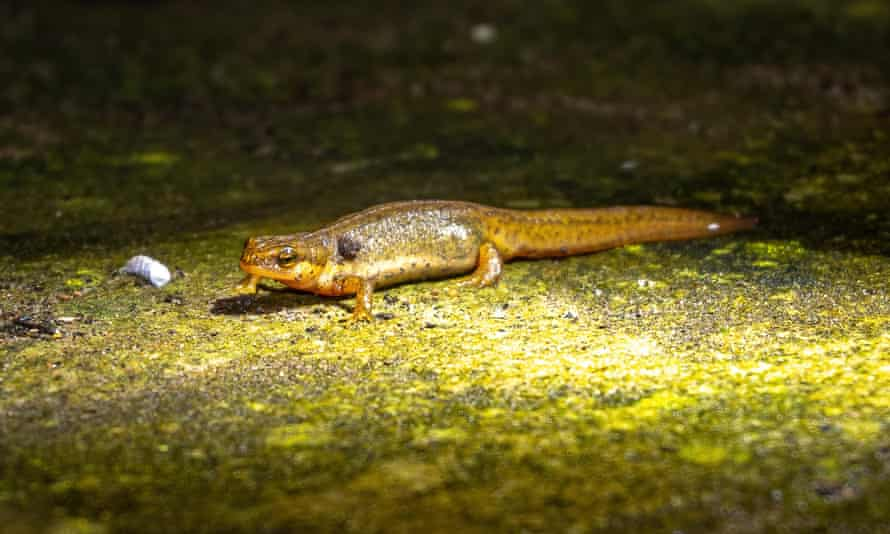 Nick's photo of, what he believes to be, a smooth newt taken on 20 February.