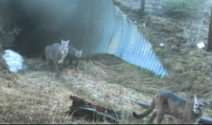 Cats  from Candid Creatures: How Camera Traps Reveal the Mysteries of Nature