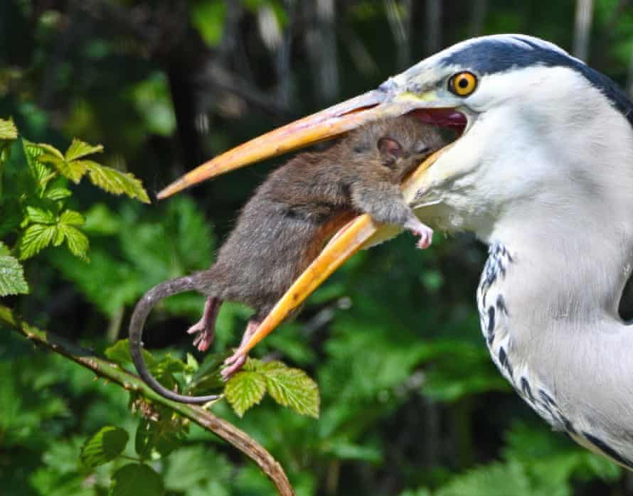 A gray heron battles a rat at Forest Farm Country Park, Cardiff, in April 2021.