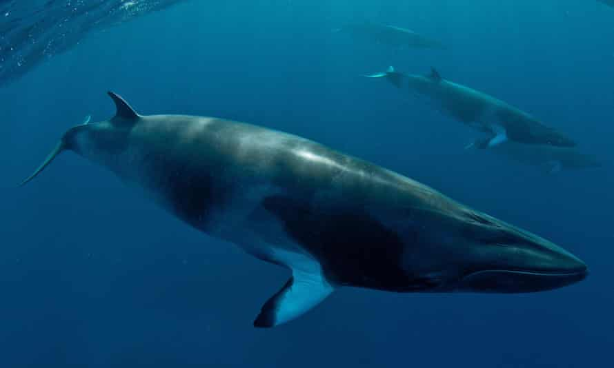 Minke whales. In 2014, Icelandic whalers caught 24 minkes and 137 fin whales. Iceland and Norway are the only two nations that openly defy the international ban on whale hunting.