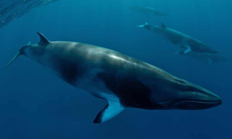 """Japan allows itself to hunt whales under a """"scientific"""" programme which still sees the meat go on sale."""
