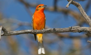 A Flame-coloured Tanager.