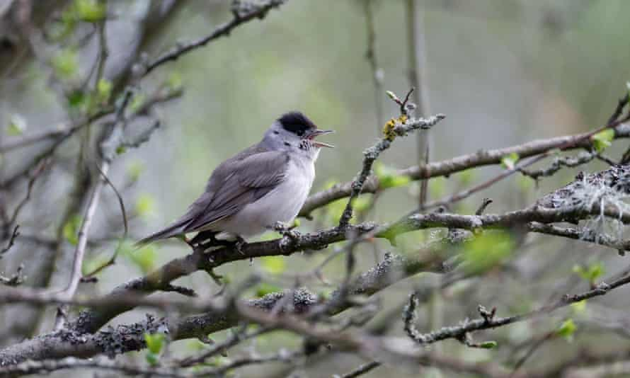 A male blackcap on branch singing.