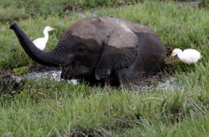 A baby elephant eats in a swamp in Amboseli national park, Kenya