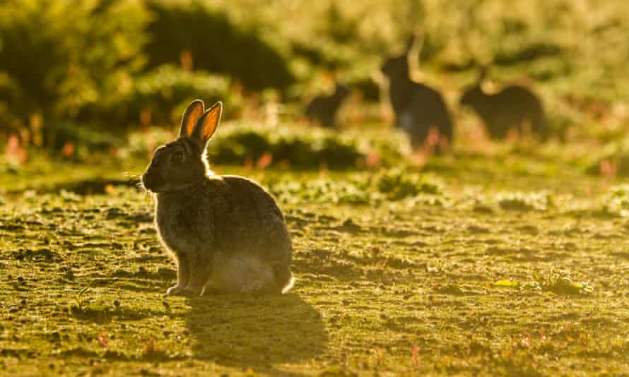 A rabbit pictured in low evening sunlight on Skokholm Island