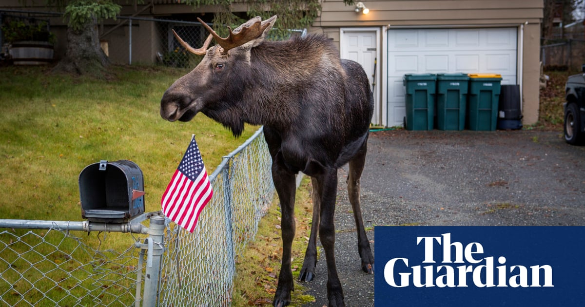 Escaping Tail End Of Winter By Roaming >> What Do You Do When 1 500 Moose Roam Free In Your City Us News