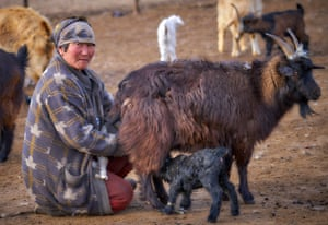 Mongolian woman with her livestock