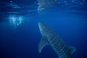 A whale shark swims next to volunteer divers after they removed an abandoned fishing net that was covering a coral reef in a protected area of Ko Losin, Thailand