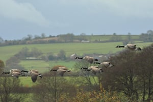 A flock of geese over Chew valley lakes on a cold November morning in the UK