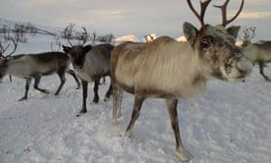 Reindeer belonging to Sámi herders in Norway.