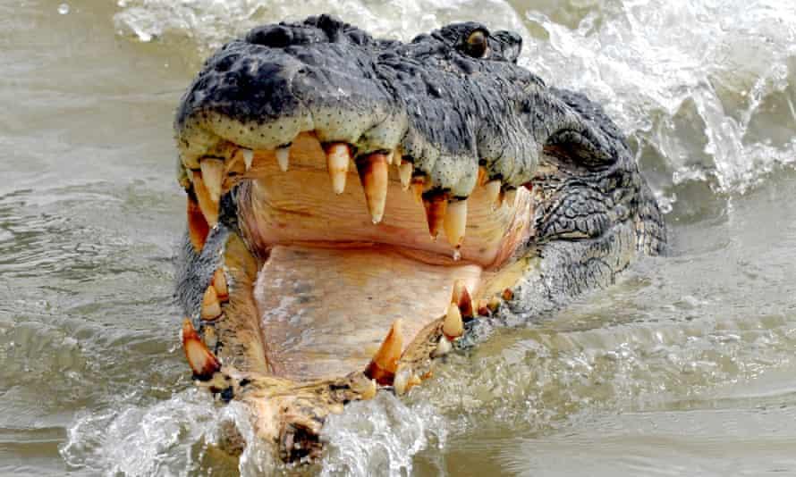 A saltwater crocodile
