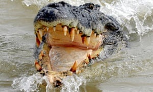 Saltwater crocodiles are the world's largest reptile and are currently a protected species in the Solomon Islands.