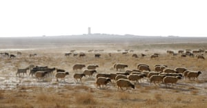 A herd of sheep crosses parched land in Raqqa province in eastern Syria