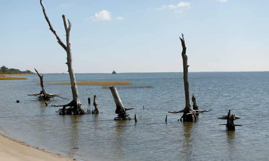 Remains of trees in a coastal ghost forest on Assateague Island in Virginia.