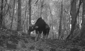 Two gaur caught on camera trap. The photos of gaur have proven the species is not extinct in Bangladesh as long assumed.