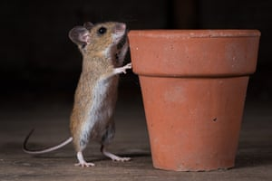 Wood mouse investigates flower pot on its hind legs