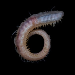 A polynoid polychaete worm collected off Lecointe Island, Gerlache Strait, at a depth of about 560m
