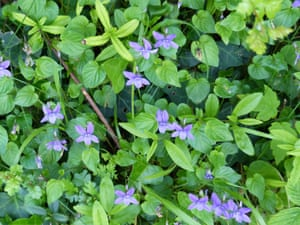 Dog violets in the woodland underbrush